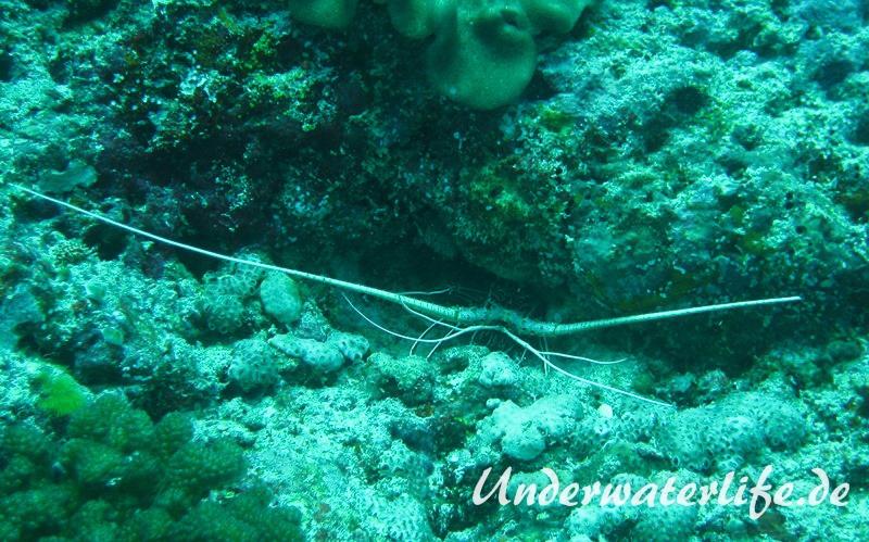 Blaue Schmucklanguste_adult-Malediven-2013-001