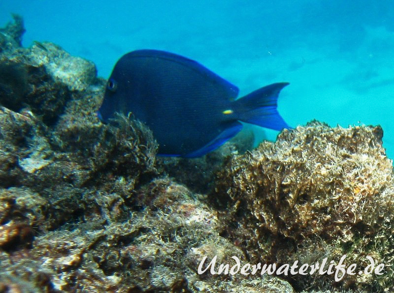 Blauer-Doktorfisch_adult-Karibik-2014-03
