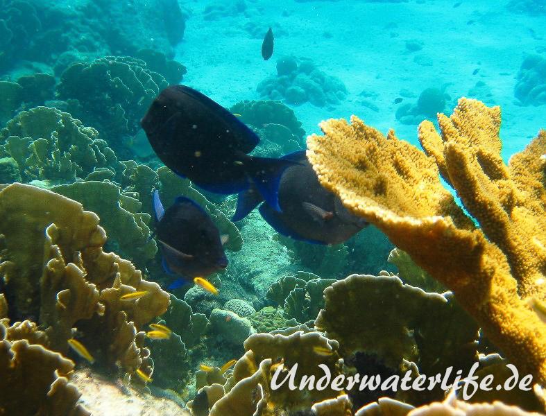 Blauer-Doktorfisch_adult-Karibik-2014-05