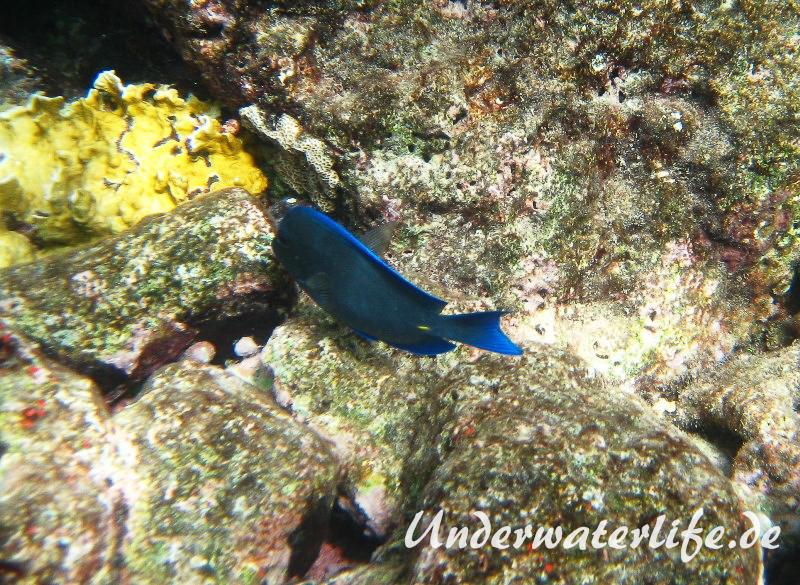 Blauer-Doktorfisch_adult-Karibik-2014-07