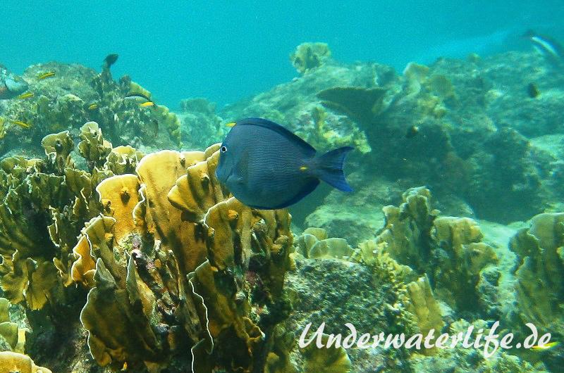 Blauer-Doktorfisch_adult-Karibik-2014-08