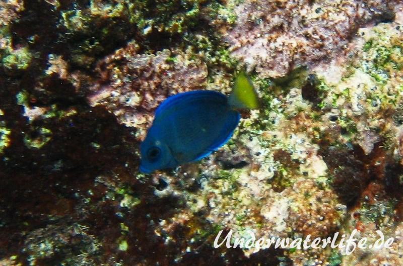Blauer-Doktorfisch_juvenil-Karibik-2014-01