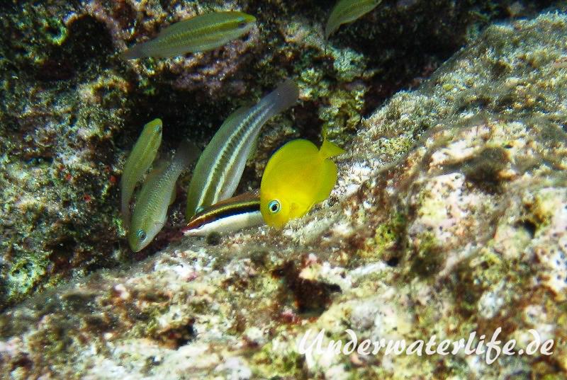 Blauer-Doktorfisch_juvenil-Karibik-2014-03