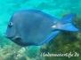 Blauer Doktorfisch (Acanthurus coeruleus)