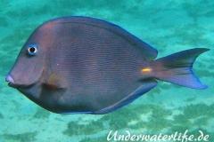 Blauer-Doktorfisch_adult-Karibik-2014-02