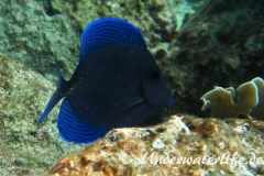 Blauer-Doktorfisch_adult-Karibik-2014-04