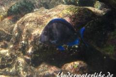Blauer-Doktorfisch_adult-Karibik-2014-09