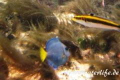 Blauer-Doktorfisch_juvenil-Karibik-2014-02