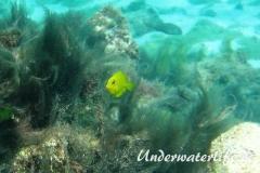 Blauer-Doktorfisch_juvenil-Karibik-2014-04