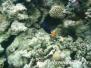 Blauer Segelflossendoktorfisch (Zebrasoma xanthurum)