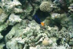 Blauer Segelflossendokterfisch-Marsa alam-2012-1