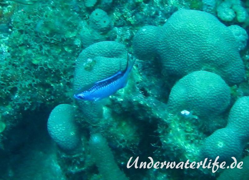 Blaues-Schwalbenschwaenzchen_adult-Karibik-2014-02