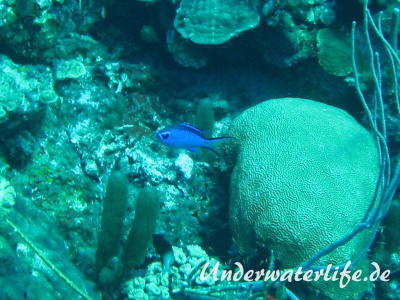 Blaues-Schwalbenschwaenzchen_adult-Karibik-2014-03