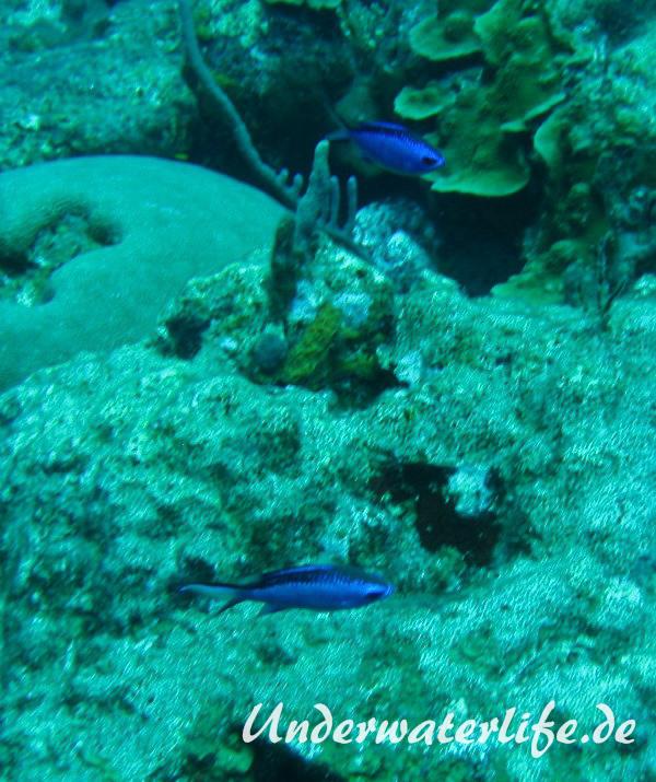 Blaues-Schwalbenschwaenzchen_adult-Karibik-2014-05