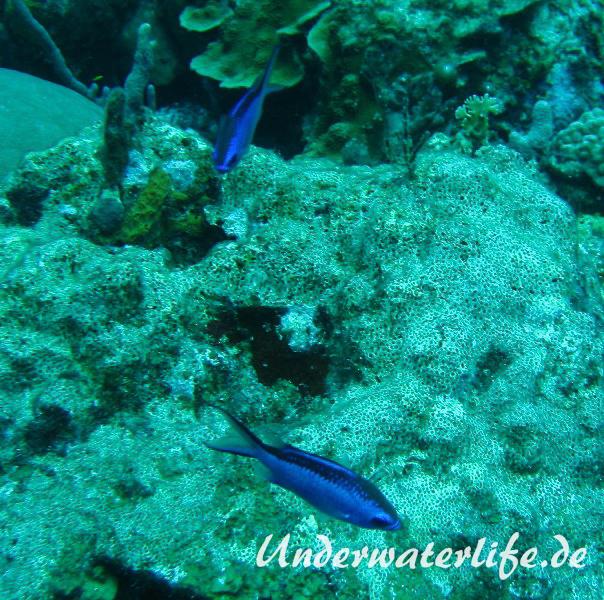 Blaues-Schwalbenschwaenzchen_adult-Karibik-2014-06