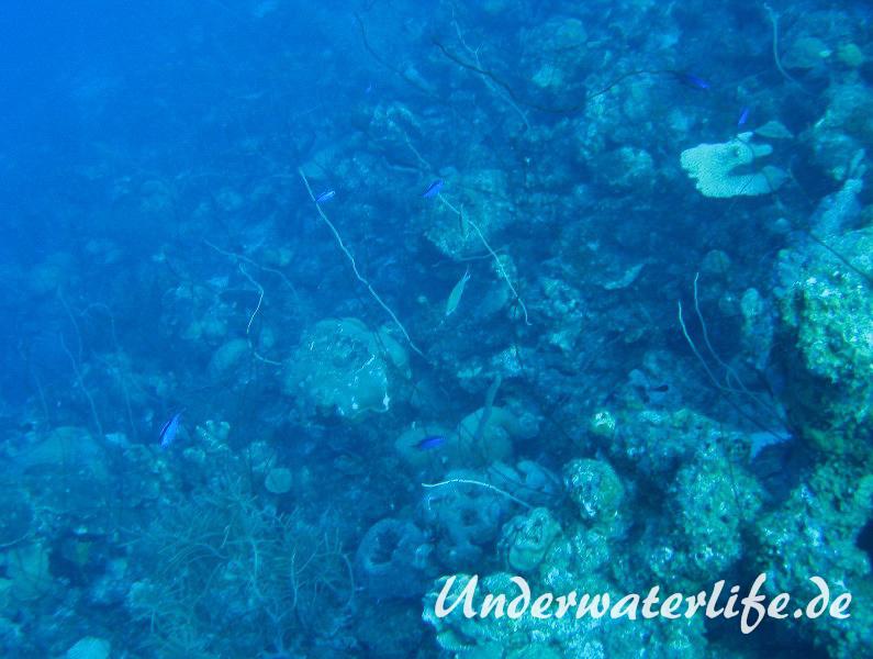 Blaues-Schwalbenschwaenzchen_adult-Karibik-2014-07