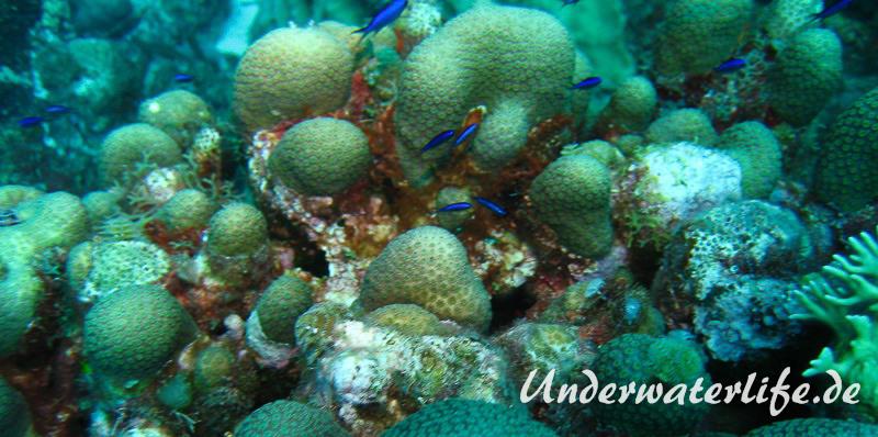 Blaues-Schwalbenschwaenzchen_adult-Karibik-2014-08