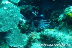 Blaues-Schwalbenschwaenzchen_adult-Karibik-2014-04