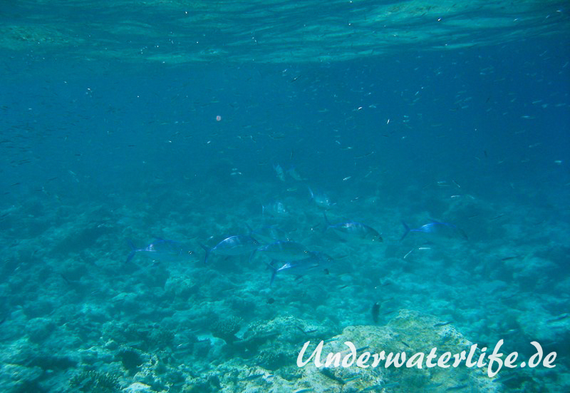 Blauflossen-Stachelmakrele_adult-Malediven-2013-02