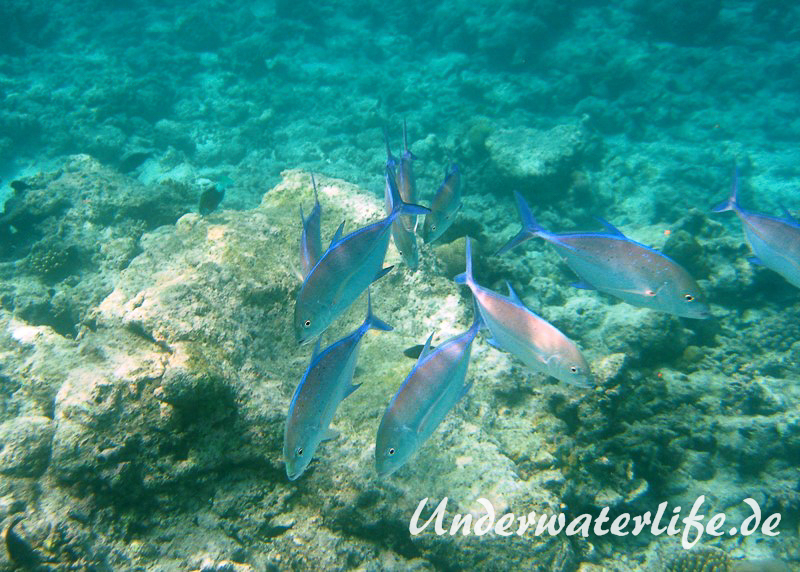 Blauflossen-Stachelmakrele_adult-Malediven-2013-03