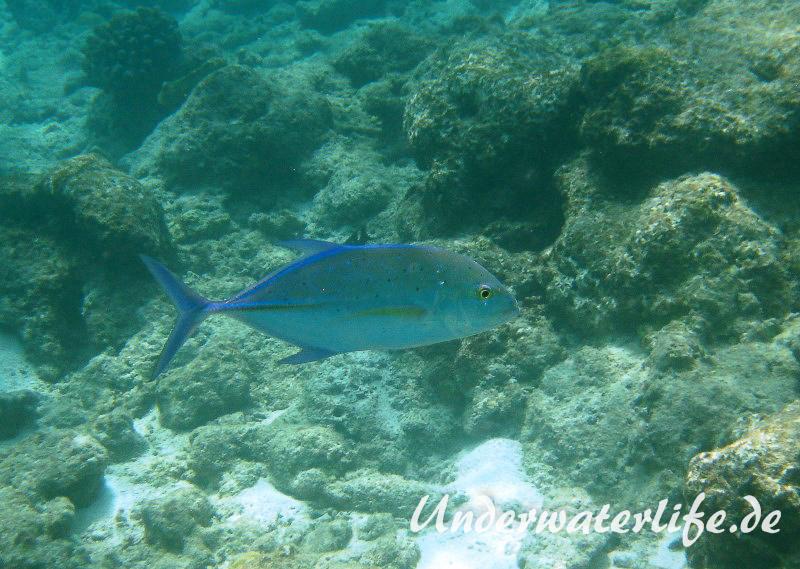 Blauflossen-Stachelmakrele_adult-Malediven-2013-04