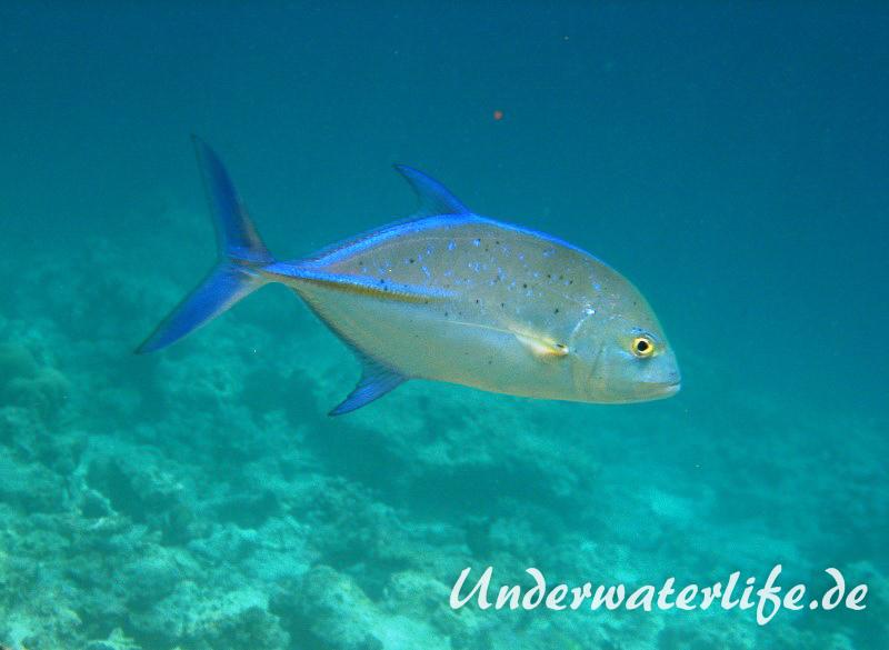 Blauflossen-Stachelmakrele_adult-Malediven-2013-05