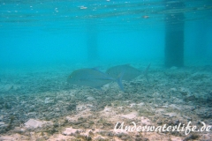 Blauflossen-Stachelmakrele_adult-Malediven-2013-01