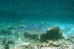 Blauflossen-Stachelmakrele_adult-Malediven-2013-06