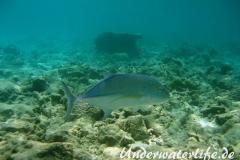 Blauflossen-Stachelmakrele_adult-Malediven-2013-07