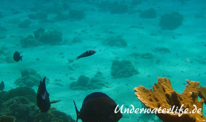 Blaukopf-Junker_adult-Karibik-2014-03
