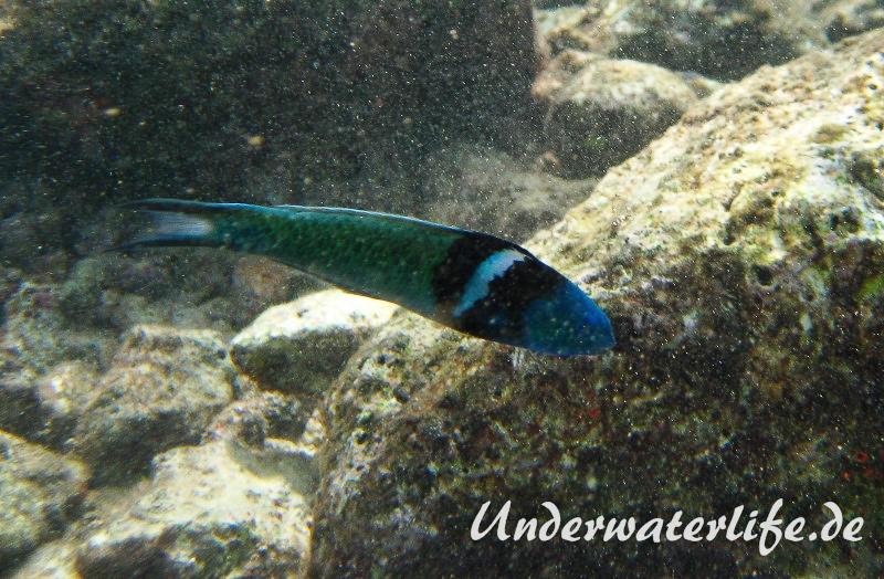 Blaukopf-Junker_adult-Karibik-2014-04