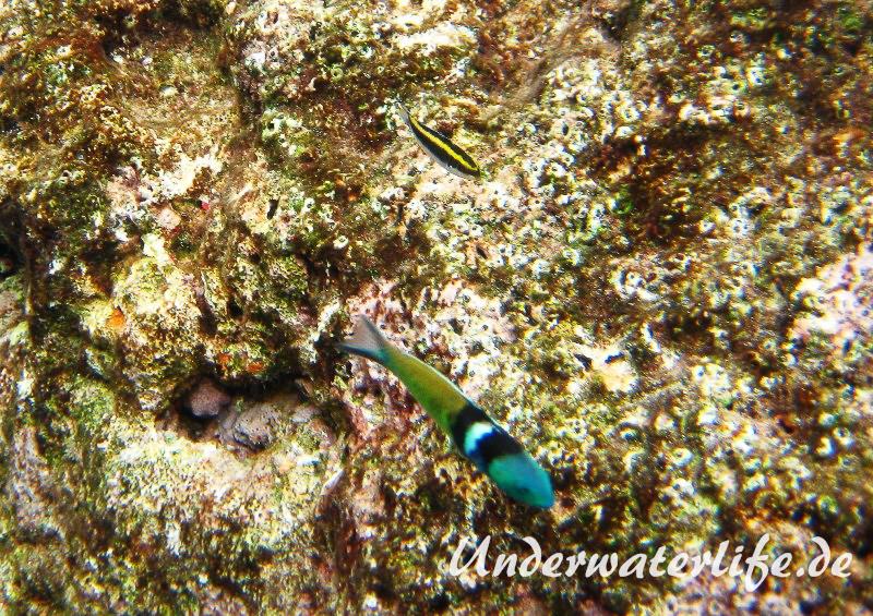 Blaukopf-Junker_adult-Karibik-2014-05