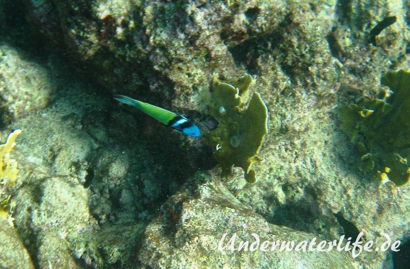 Blaukopf-Junker_adult-Karibik-2014-06