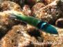 Blaukopf Junker (Thalassoma bifasciatum)