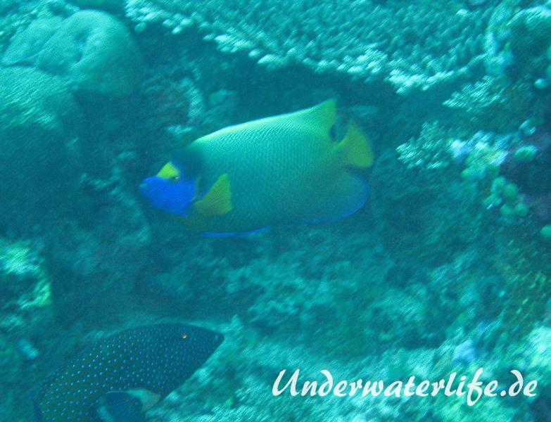 Blaukopf-Kaiserfisch_adult-Malediven-2013-03