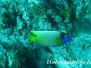 Blaukopf-Kaiserfisch (Pomacanthus xanthometopon)