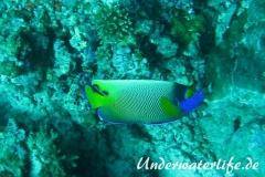 Blaukopf-Kaiserfisch_adult-Malediven-2013-
