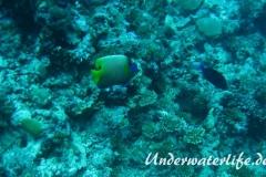 Blaukopf-Kaiserfisch_adult-Malediven-2013-02