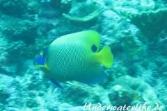 Blaukopf-Kaiserfisch_adult-Malediven-2013-04