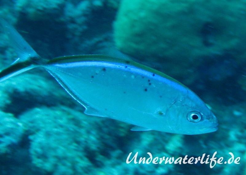 Blauruecken-Stachelmakrele_adult-Karibik-2014-003