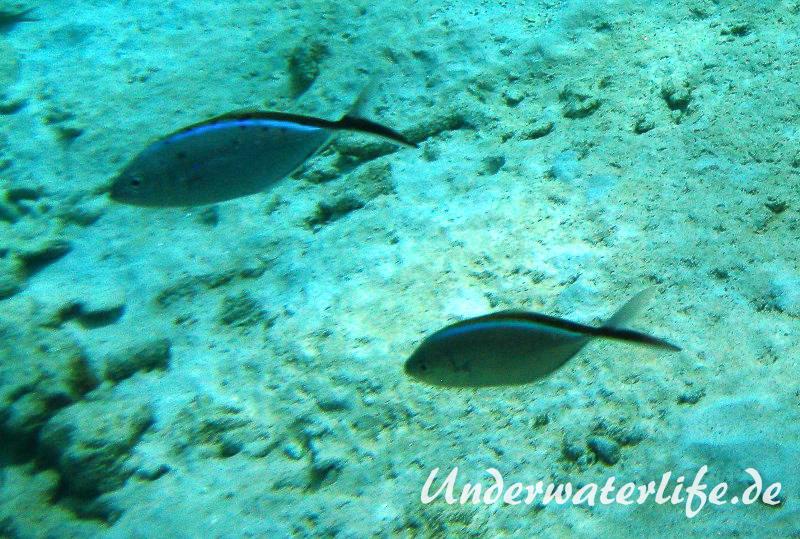 Blauruecken-Stachelmakrele_adult-Karibik-2014-005