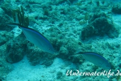 Blauruecken-Stachelmakrele_adult-Karibik-2014-001