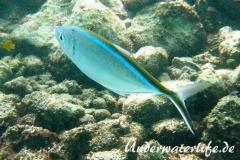 Blauruecken-Stachelmakrele_adult-Karibik-2014-002