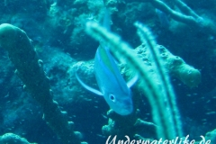 Blauruecken-Stachelmakrele_adult-Karibik-2014-004