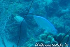 Blauruecken-Stachelmakrele_adult-Karibik-2014-006