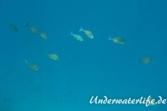 Blauschwanz-Nasendoktor_adult-Malediven-2013-01