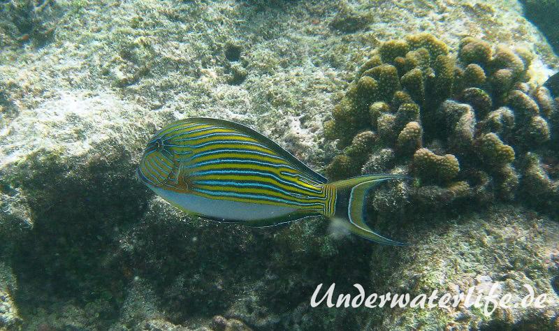 Blaustreifen-Doktorfisch_adult-Malediven-2013-01