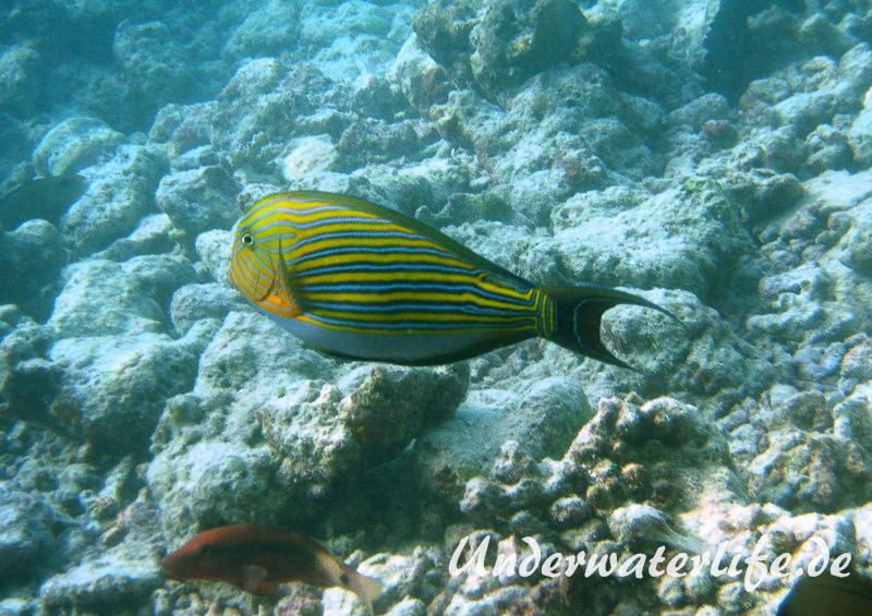 Blaustreifen-Doktorfisch_adult-Malediven-2013-04