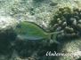 Blaustreifen-Doktorfisch (Acanthurus lineatus)
