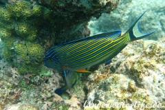 Blaustreifen-Doktorfisch_adult-Malediven-2013-02